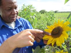 Afbeelding: Sunflower farmer